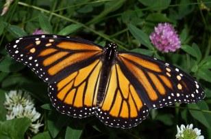 Monarch_In_May.jpg