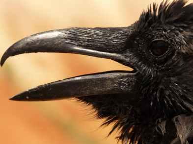 bird birds usa raven