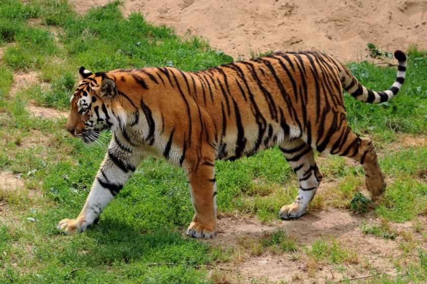 amur tiger angry animal animal photography