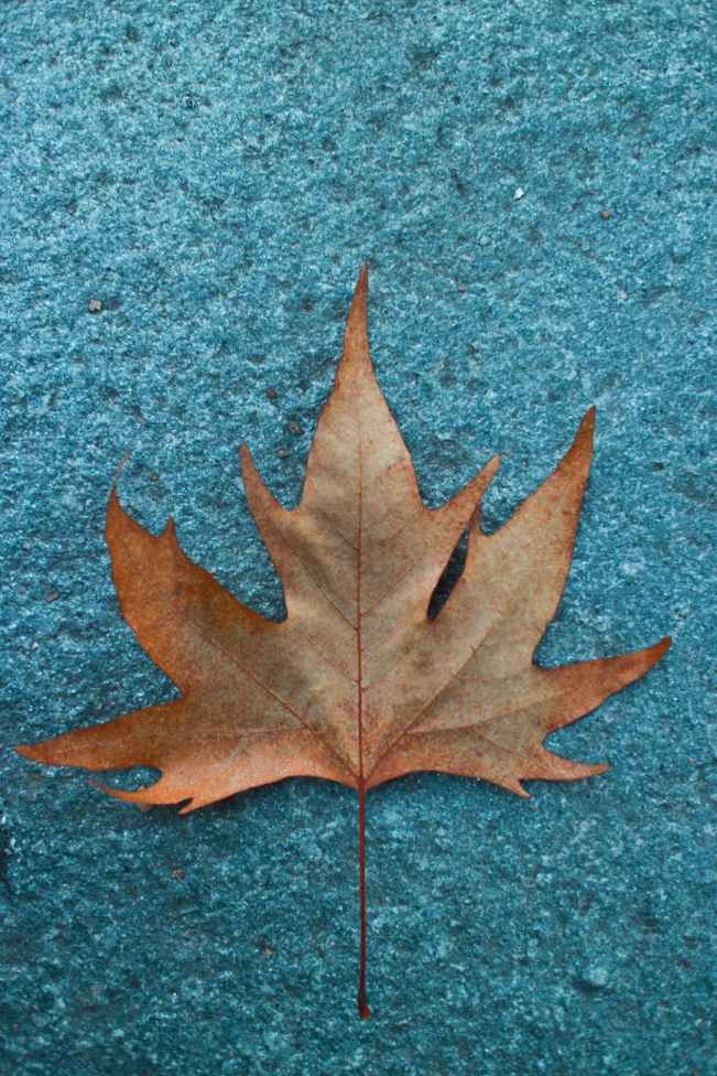 close up photo of a dried maple leaf