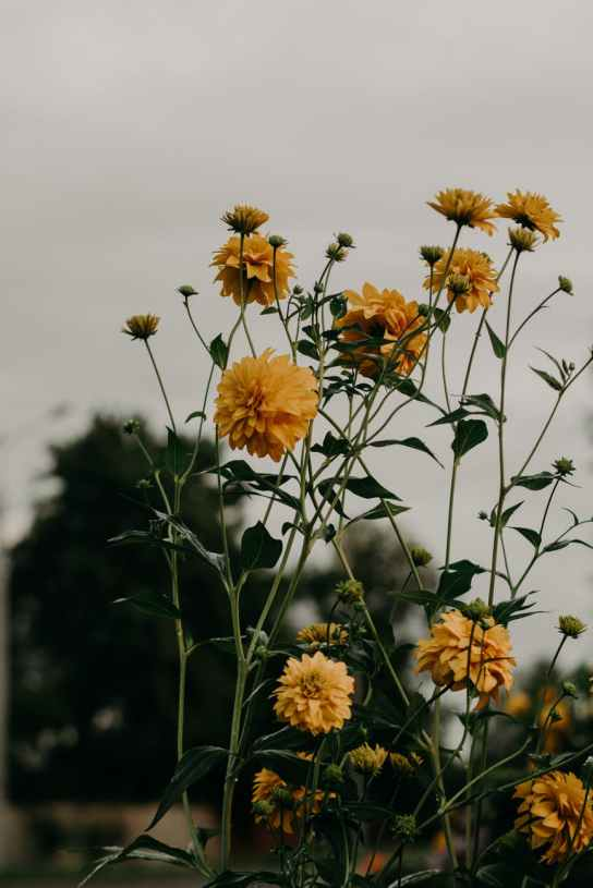 selective focus photo of yellow dahlia flowers