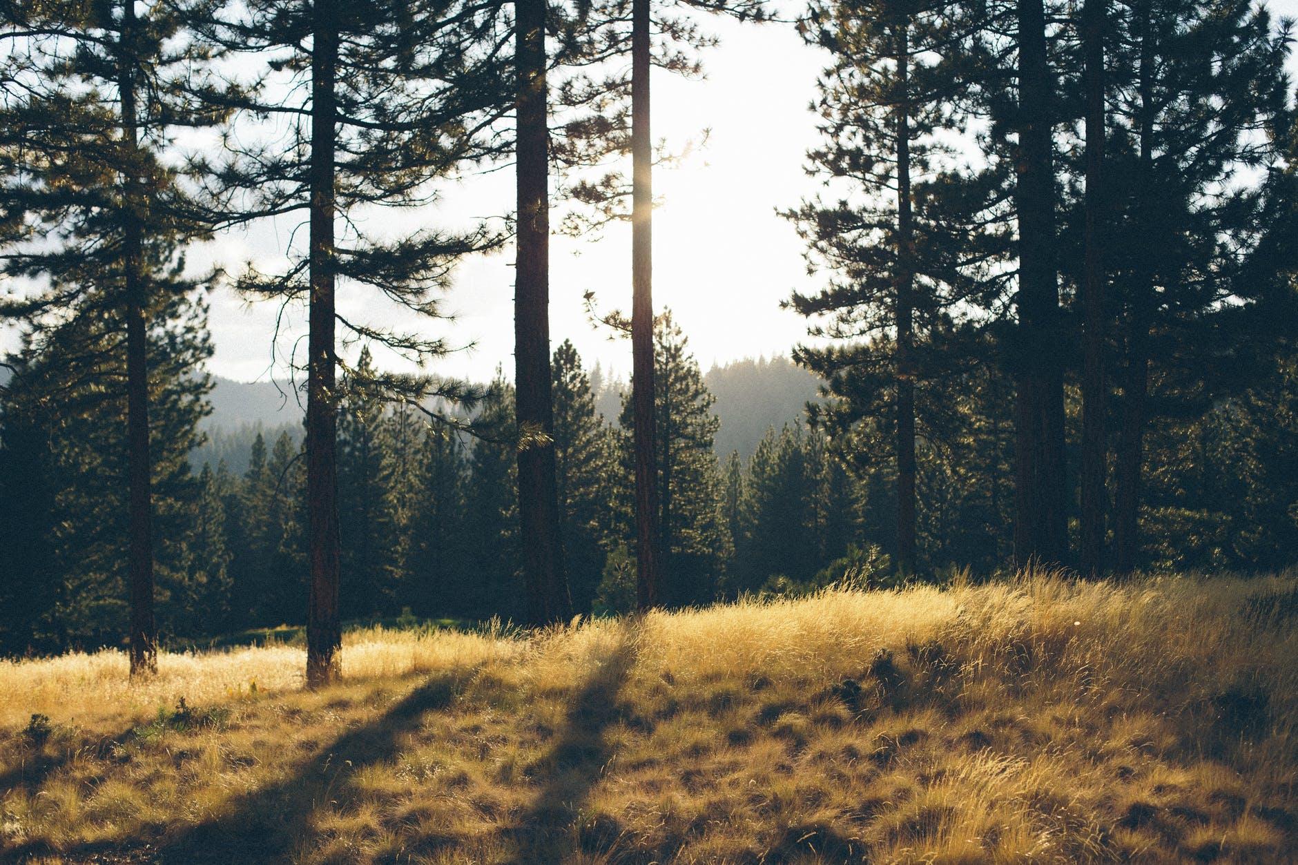 branch conifer countryside dark