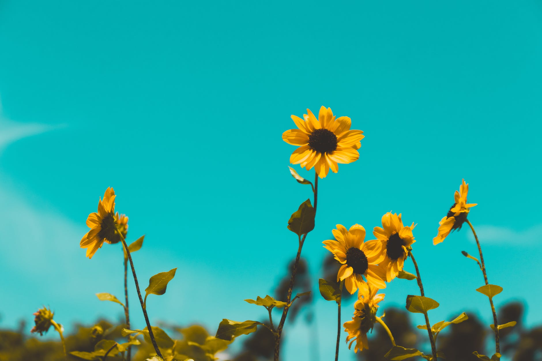 low angle photo of sunflowers