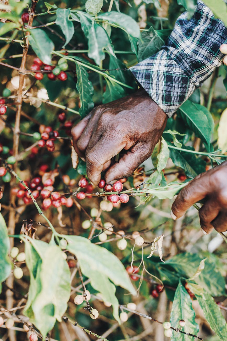 faceless black person picking coffee cherries