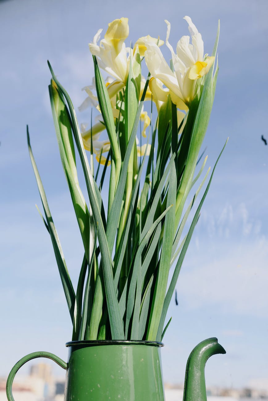 bouquet of fresh delicate daffodils on blue sky background